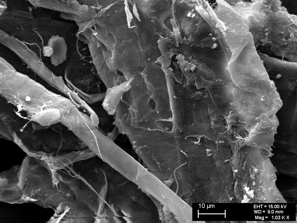 fig 25. Micro-photo. Pores characteristic of deciduous trees visible in the wall of the cell. A.Vabbe Woman in landscape.  EKM M 4111. SEM